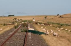 Looking west from Bond Street, sheep taking over the line